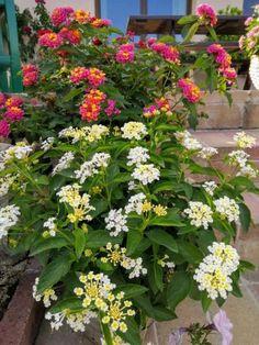 Így lesz szép a sétányrózsa - olvasói tanácsok | Balkonada Potted Plants, Container Gardening, Yard, Flowers, Vegetable Garden, Plants, Pot Plants, Patio, Courtyards