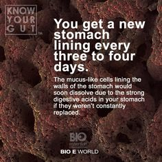DO YOU KNOW? Your stomach manufactures a new lining every three days to avoid digesting itself. As a part of the digestive process, your stomach secretes hydrochloric acid (HA). HA is a powerful corrosive compound also used to treat various metals. The HA your stomach secretes is also powerful, but mucous lining the stomach wall keeps it within the digestive system. As a result it breaks down the food you consume, but not your own stomach.