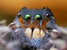 Face of an Adult Male Phidippus putnami Jumping Spider