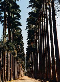 Ancient palms flank a lane at the Botanical Garden- Rio de Janeiro - Jardim Botanico