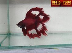 Siamese Fighting Fish - Red Double Veil Tail male Betta Splendens ( I love the color pattern and the clear. Pretty Fish, Cool Fish, Beautiful Fish, Colorful Fish, Tropical Fish, Beautiful Creatures, Animals Beautiful, Aquariums, Beta Fish