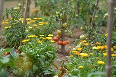 Tervezéshez - virágokkal a veteményesben Herb Garden, Pumpkin, Herbs, Fruit, Vegetables, Green, Flowers, Outdoor, Gardening