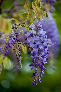 Graceful wisteria.
