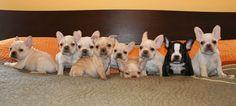 french bulldog pups   @Krista McNamara McNamara McNamara McNamara Dombroski