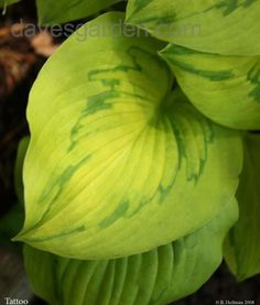 Hosta 'Tattoo'