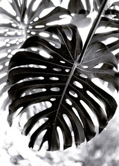 Leaves / Black and White Photography Black N White, Black White Photos, Black And White Photography, Black And White Leaves, White Leaf, Mode Poster, Monstera Deliciosa, Monstera Leaves, Jolie Photo