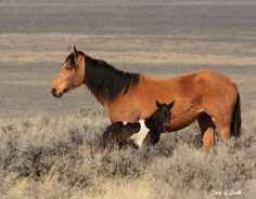 Lovely Wild Bay Mustang Mare With Her Newborn Black Paint Foal Standing Alongside.