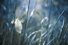 Lampi vaikenee vähitellen, vetäytyy kokoon, sen syksy sammuu. Viimeinen lintu kohoaa vedestä siivilleen, yksinäinen varis enää metsän varjossa huutaa ikäväänsä, sitten sekin vaappuu pois... Silmissäni näen jo ensimmäiset hiutaleet, riitteen: talven varovainen kosketus kylmenevään maisemaan. -Olavi Ingman