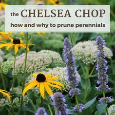 The Chelsea Chop: How and Why to Prune Perennials - Longfield Gardens Stuff To Do, Things To Do, Chelsea, Garden Plants, Garden Fun, Garden Ideas, Plant Care, Amazing Gardens, Houseplants