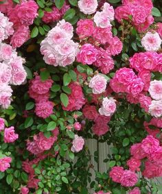 Cottage Farms Direct Two-In-One Pinkie & New Dawn Climbing Rose - Set of Two | zulily