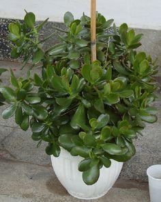 The Benefits of Eating Organically Grown Vegetables Garden Snakes, Crassula Ovata, Garden Borders, Succulent Pots, Houseplants, Indoor Plants, Shrubs, Bonsai, Aloe