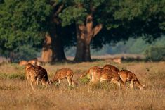 Group of spotted deer or chital (Axis axis) in natural habitat, Kanha National Park, India\r , India Landscape, Green Landscape, Evergreen Forest, Senior Trip, Wild Dogs, Once In A Lifetime, Animals Beautiful, Habitats, Woodland