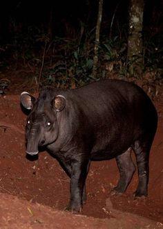 Argentine Native Animals Tapir Photo