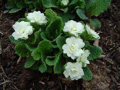 Primula vulgaris 'Dawn Ansell' Dawn Ansell English Primrose from E.C. Brown's Nursery