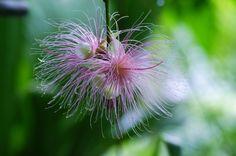 さがりばな (下がり花) /Barringtonia racemosa