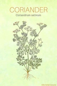 Holistic Remedies Coriander Herb (Coriandrum sativum) - Information on the Side Effects and Benefits of the Medicinal Herb Coriander (Coriandrum sativum) and Its Common and Traditional Uses in Herbal Medicine Holistic Remedies, Herbal Remedies, Natural Remedies, Health Remedies, Herbal Plants, Medicinal Plants, Healing Herbs, Natural Healing, Natural Energy