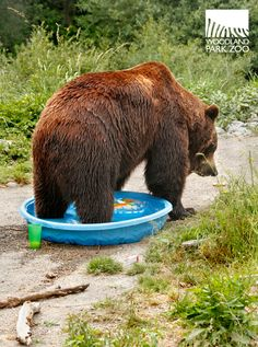 Bears aren't just interested in campsites. In the Pacific NW, we might encounter bears in our own backyards. This pool party was certainly not meant for bears.