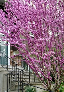 Serenity in the Garden: The 'Forest Pansy' Redbud Tree Trees And Shrubs, Flowering Trees, Redbud Trees, Landscaping Plants, Front Yard Landscaping, Garden Terrarium, Terrariums, Garden Trees, Garden Plants