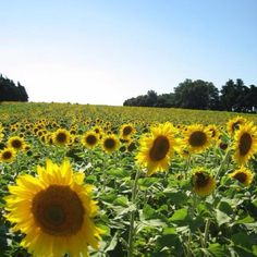 Sunflowers in Provence. Two very awesome things :)