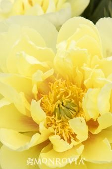 Monrovia's Bartzella Itoh Peony details and information. Learn more about Monrovia plants and best practices for best possible plant performance.