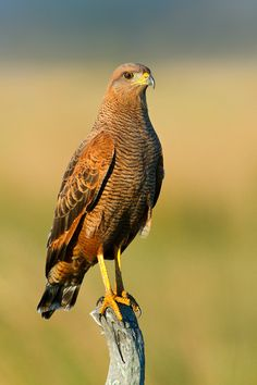 Savanna Hawk, Buteogallus meridionalis | Arroyo Batel, Corrientes Province, Argentina