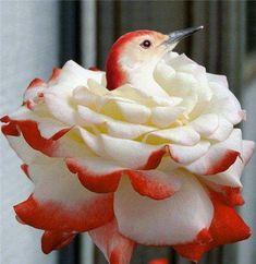 Hummingbird: So cool! Is the flower part of the hummingbird? Pretty Birds, Love Birds, Beautiful Birds, Animals Beautiful, Cute Animals, Exotic Birds, Colorful Birds, Kinds Of Birds, Bird Watching