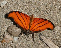 Butterflies of Amazonia - Marpesia petreus