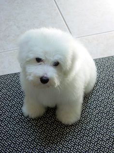Chesterfield - Coton de Tulear Cute Puppies, Cute Dogs, Dogs And Puppies, Dog Lover Gifts, Dog Lovers, Coton De Tulear Dogs, Dog Grooming Styles, Big Animals, Maltese Dogs