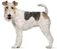 Wire Fox Terrier:   The Wire Fox Terrier has the trademark terrier temperament: energetic, fearless, playful, inquisitive, feisty, bossy, and boisterous.