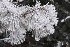 Ice crystals on pine needles. Northern Idaho's frozen fog.