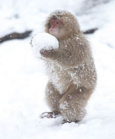 Monkey in Snow - Japan | This little fella made a great snow ball!