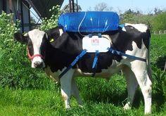 """Para minimizar o efeito dos gases emitidos pelos bovinos, os """"hermanos"""" encontraram uma solução: Arrotos de vaca como fonte de energia alternativa! Só esqueceram de pensar que se deixassem de """"produzir"""" vacas a economia de luz, água e terra seria infimamente maior! O descaso com o sofrimento  do animal para alimentar o ego do """"ser humano"""" não tem limites! =("""