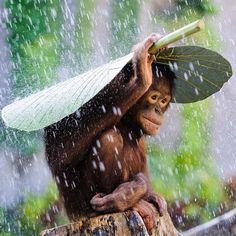 Orangutan with an umbrella #EarthPix Photo via @FollowMeFarAway