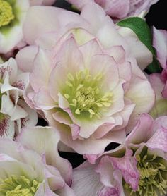 Helleborus, Wedding Party Flower Girl ,