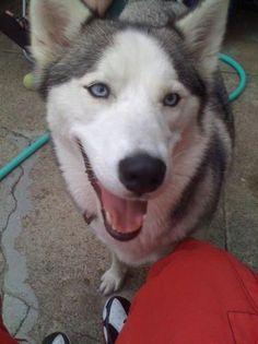 Boxer Mix, Australian Shepherd, Rottweiler, Husky, Adoption, Joy, Puppies, Pets, Sweet