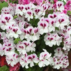 Mr Pelargonium (@MrPelargonium) | Twitter