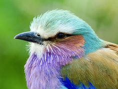 When+God+created+me,+He+was+having+a+good+day,  Lilac Breasted Roller