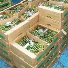 Piñas ,pineapples ,ananas de Costa Rica ,frutas tropicales ,fruits ,mercabarna ,piñasdecostarica, mercamadrid@bribrifruitscostarica #piñas #pineapple #pineapples #ananas #frutastropicales #dieta #nutricion #salud #costarica #caribe #puravida #instanfood #piñasdecostarica #fruterias #mercados #mercamadrid #mercabarna #mercasevilla #spain #bribrifruits #disfrutadelapiña #piñasdecostarica