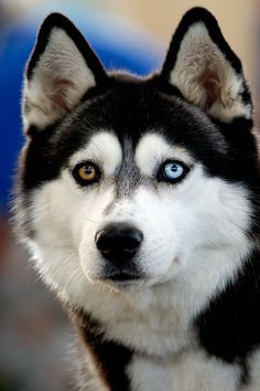 http://agitare-kurzartikel.blogspot.com/2012/04/noblesse-luxus-labels-luxus-pur-das.html  Siberian Husky ~ Beautiful Eyes