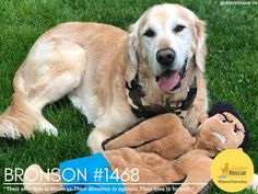 """""""Their affection is timeless. Their devotion is ageless. Their love is forever."""" Happy #SeniorSaturday from Bronson #1468! #goldenretriever #rescuedog #adoptdontshop Rescue Dogs, Adoption, Happy, Animals, Foster Care Adoption, Animales, Animaux, Ser Feliz, Animal"""