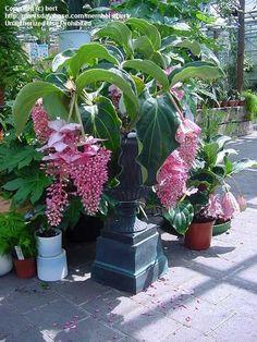 PlantFiles: Picture #3 of Showy Medinilla (Medinilla magnifica)