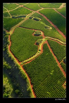 A Kauai coffee plantation in Koloa. Can't you practically smell the coffee beans through your monitor? (photo by Wislon Tsoi)