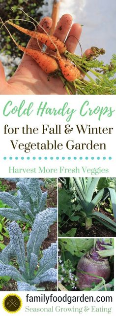 Organic Gardening Ideas Cold hardy crops - List of winter vegetables to grow. Plant these cold-hardy winter vegetables for your winter vegetable garden and you can harvest in frosts Growing Winter Vegetables, Fall Vegetables, Organic Vegetables, Veggies, Indoor Vegetable Gardening, Home Vegetable Garden, Organic Gardening Tips, Gardening Vegetables, Gardening Hacks