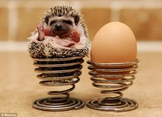 Hailing from Egypt originally, pygmy hedgehogs live on cat food and chicken. Because they're bred in captivity, they enjoy being handled.