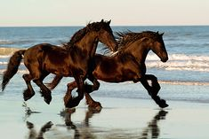 Two Friesian Horses galloping on the beach. Beautiful.