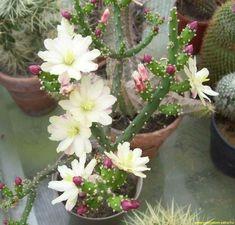 Succulent Pots, Cacti And Succulents, Planting Succulents, Garden Plants, House Plants, Planting Flowers, Cactus Plante, Unusual Flowers, Drought Tolerant Plants