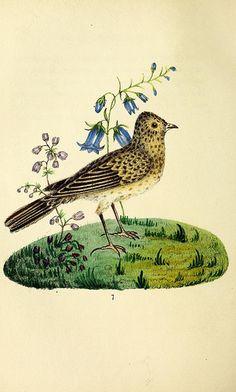 bird illustration book plate