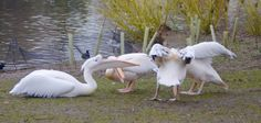 St. James Park Pelicans