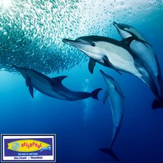 It is possible for a mature dolphin to eat up to 30 pounds of fish daily. #30Pounds #Dolphins #mature