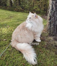 Siberian cat, Alizarin Dumbledore